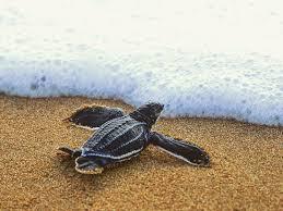 Leatherback Baby